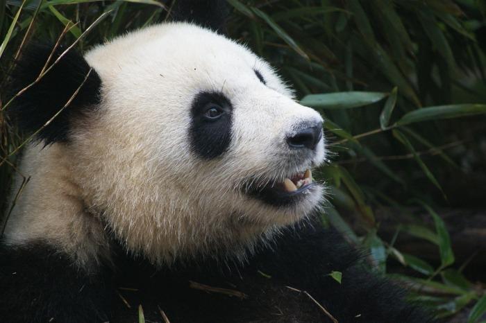 panda-1641560_1280